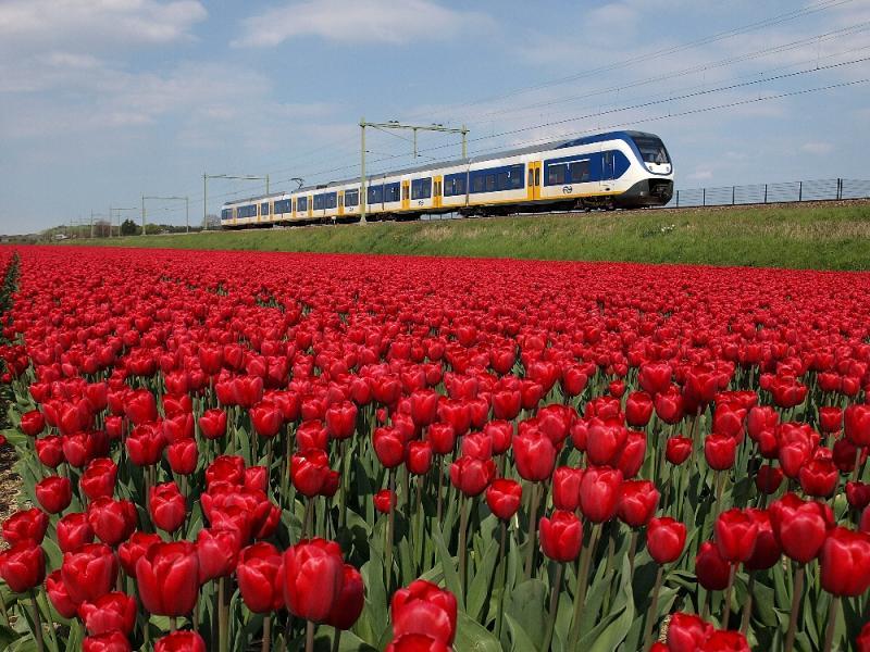 Elk jaar staan er andere bollen in de percelen langs de spoorlijn. In het voorjaar van 2015 waren er ten noorden van het station van Hillegom schitterende donkerrode tulpen te zien, die prachtig kleuren bij de blauw-wit-gele SLT-treinstellen. Op de achtergrond is nog net het hek te zien dat ProRail aan de oostzijde op de spoordijk plaatste.