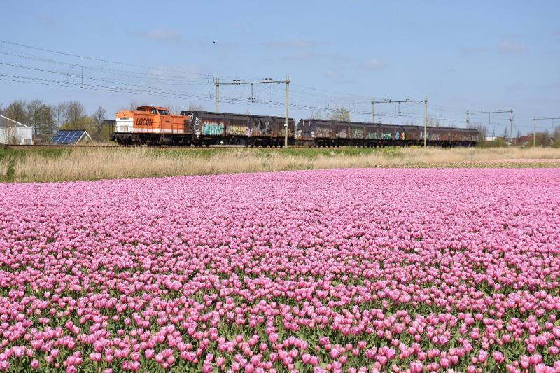 Ten oosten van de Oude Lijn bij Noordwijkerhout stonden in het voorjaar van 2016 enkele hectaren roze tulpen, die door het frisse weer wekenlang in bloei bleven. Pas rond Koningsdag werden de tulpen gekopt. De roze tulpen vormen een fraai decor voor de vuiltrein naar Noordwijkerhout, die dit voorjaar voor het laatst reed. Sinds juli gaat het huisvuil van de Duin- en Bollenstreek per vrachtwagen naar de vuilverbranding in de Amsterdamse Houtrakpolder.